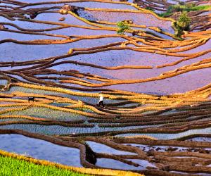 Rice Fields aka Paddy Fields